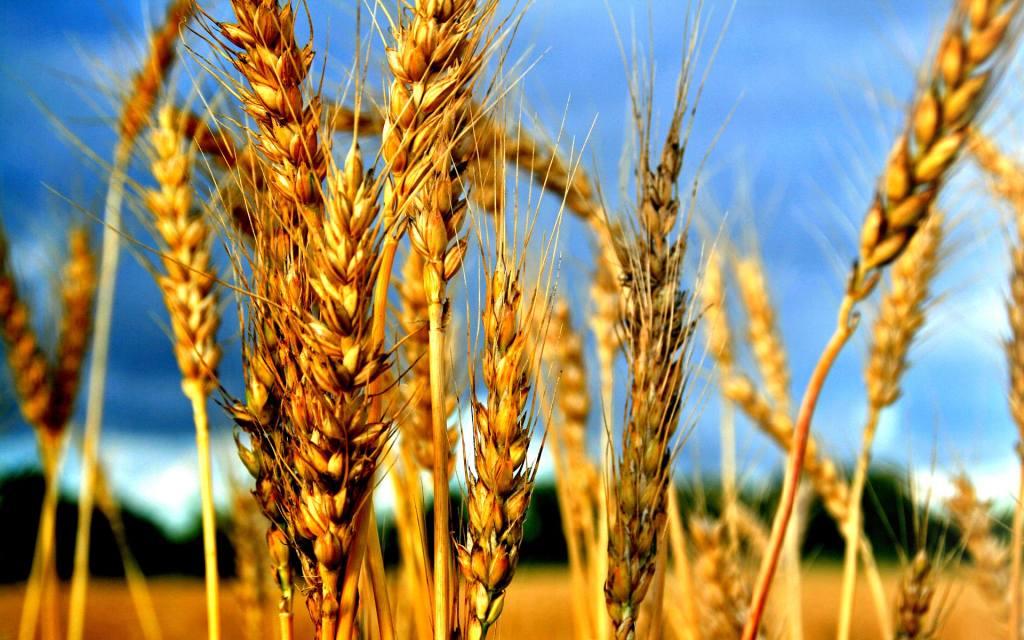 Домашняя брага из пшеницы для самогона