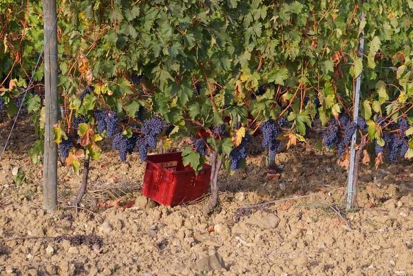 Как делают вино?