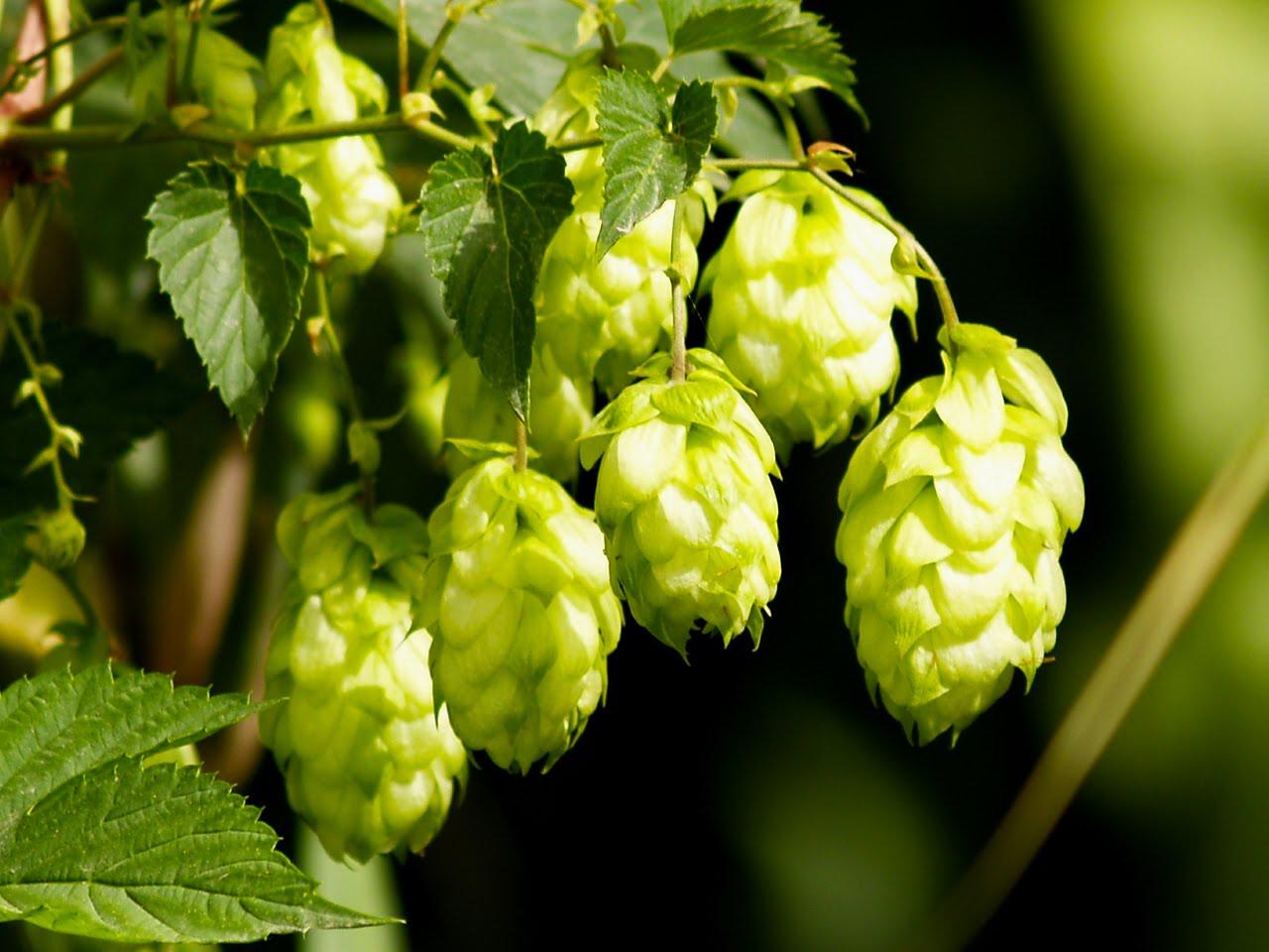 Хмель Cascade и еще 4 сорта хмеля, которые произвели революцию в пивоварении США