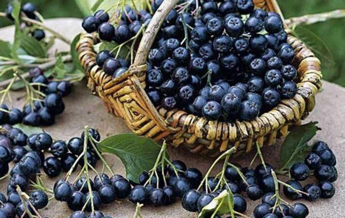 Черноплодная рябина от вина до настойки.
