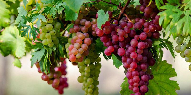 Рецепт приготовления самогона из винограда в домашних условиях