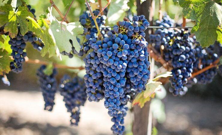«Массандра» в первом полугодии увеличила производство вина на 19%
