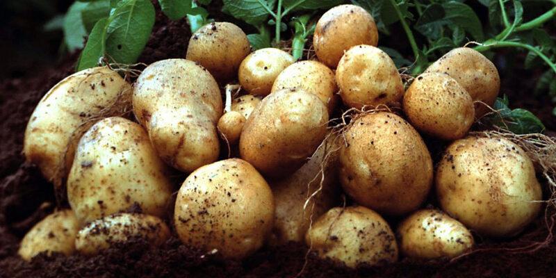 Рецепт приготовления самогона из картошки в домашних условиях
