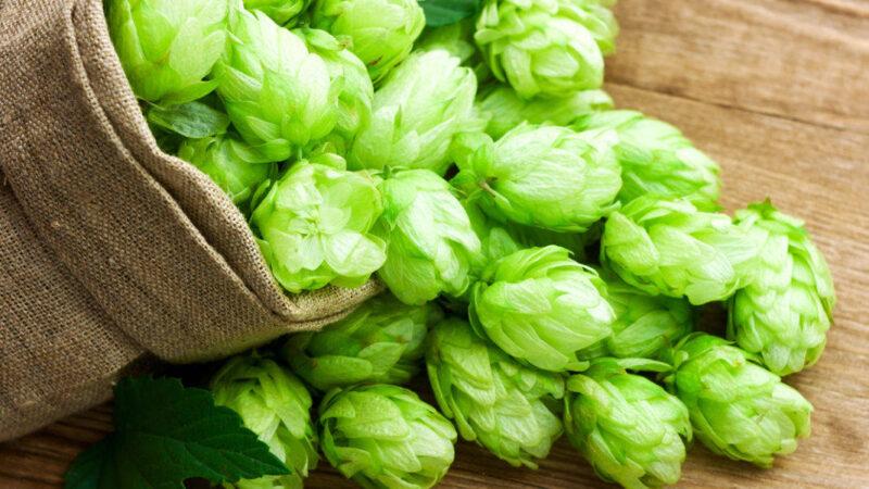 Обычный и гранулированный хмель: особенности при варке пива