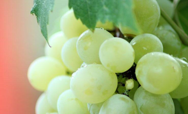 Французские виноделы рекордно рано начали сбор урожая