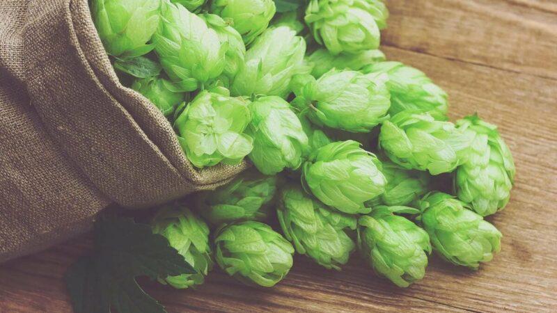 Как определить зрелость хмеля для пивоварения?